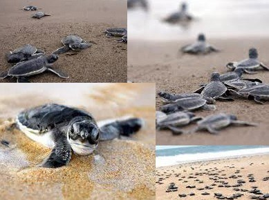 Baby Sea Turtles in Puerto Vallarta