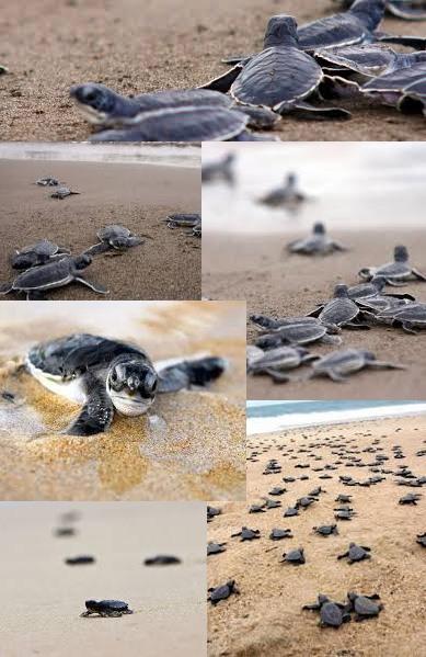 Baby Sea Turtles in Puerto Vallarta